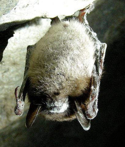 408px-little_brown_bat_with_white_nose_syndrome_greeley_mine_cropped
